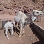 Traversée Jebel Rum - Camelitos