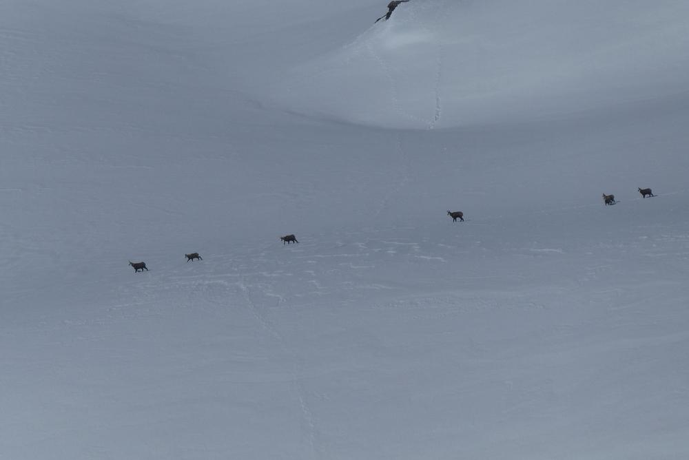 Ski rando terre rouge - Vers la Pissine - Chamois